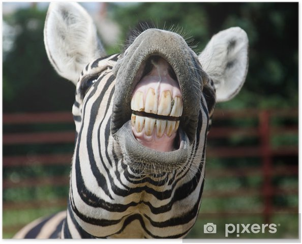 Plakat Uśmiech i zęby zebra - Zebry