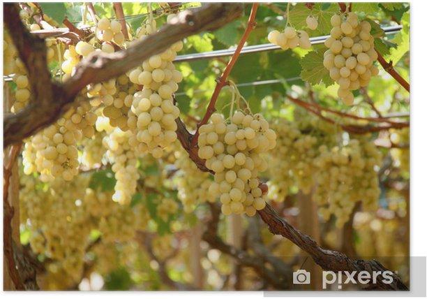 Plakat UVA - winogrona - Rośliny