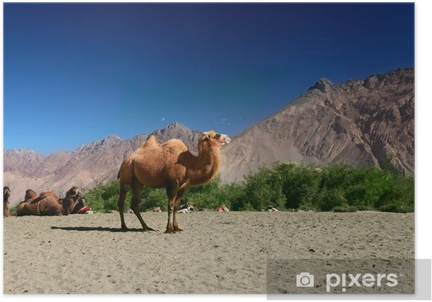 Plakát Velbloudy na údolí Nubra - Asie