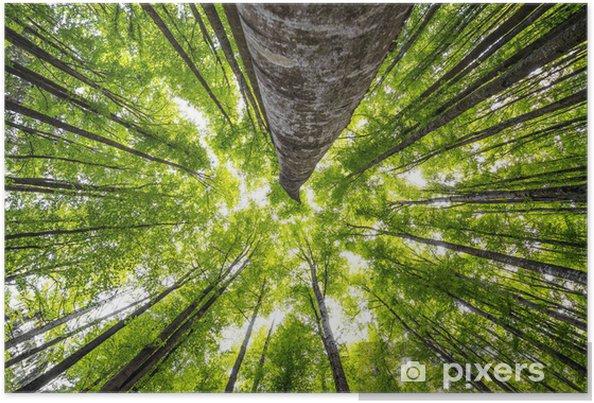Plakát Velké buky v lese na jaře - Stromy