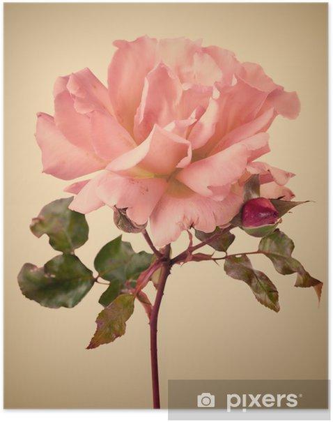 Plakát Vintage zahrada růžové růže - Květiny