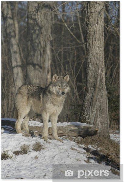Plakát Vlk, Canis lupus - Témata