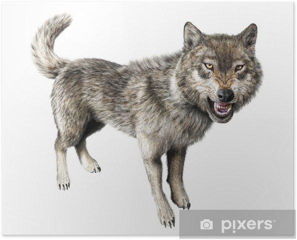 Plakát Vlk vrčí stojící na bílém pozadí. - Savci