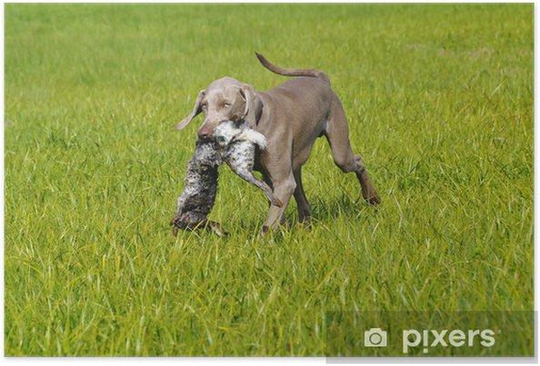 Plakát Výmarský ohař pes stáhne králíka - Outdoorové sporty
