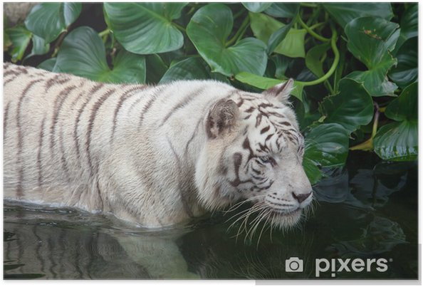 Plakát Vzácné Bílý tygr plavání - Témata