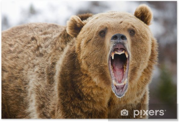 Plakat Warczenie Grizzly Bear - Tematy