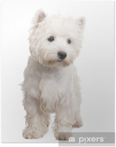 Plakat West Highland White Terrier (8 miesięcy) - Ssaki