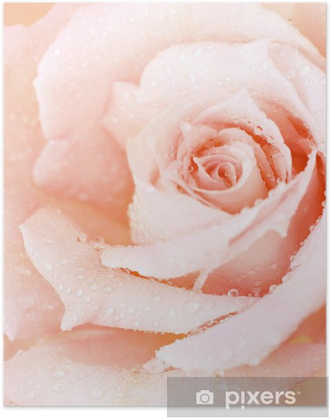 Plakat Wet Rose różowe tło - Tematy