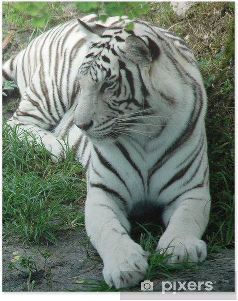 Plakát White tiger - Savci
