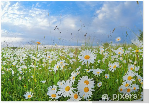 Plakat Wiele kwiatów rumianku na niebieskim niebie - Tematy