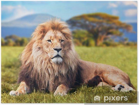 Plakat Wielki lew leżący na sawannie trawie. Kenia, Afryka - Tematy