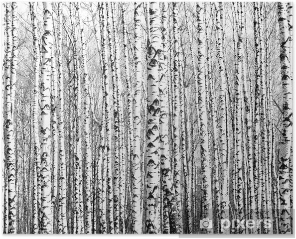 Plakat Wiosenne pnie brzozy czerni i bieli - Style