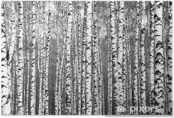 Plakat Wiosenne pnie drzew brzozy czarno-białe - Rośliny i kwiaty