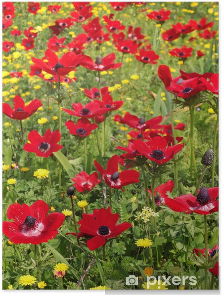Plakat Wiosna pole czerwonych maków - Tematy