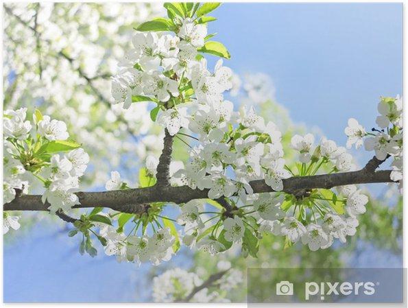 Plakat Wiśniowe Drzewo Z Kwiatami W Słoneczny Dzień Wiosny