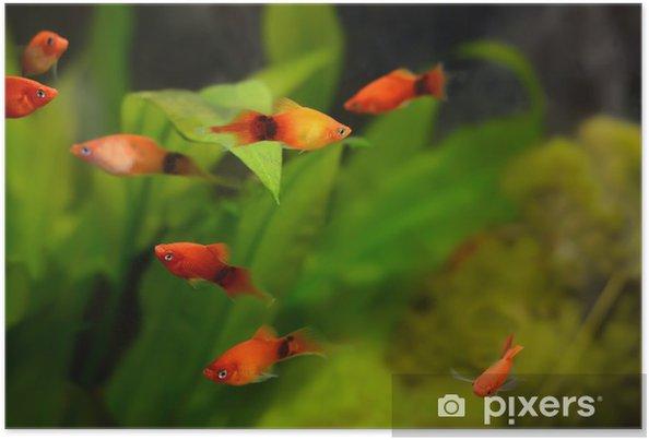 Plakat Xiphophorus ryby maculatus - Zwierzęta żyjące pod wodą