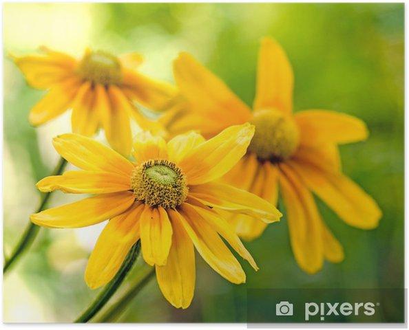 Plakat Yellow jeżówki (Rudbekia) - Zdrowie i medycyna