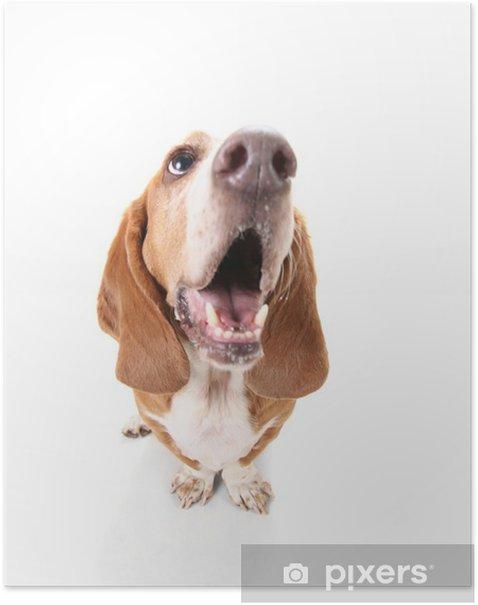 Plakat Zabawna basset hound - Ssaki