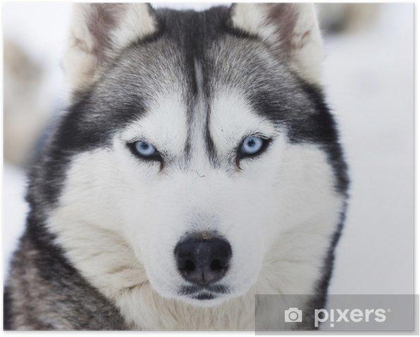 Plakat Zamknąć się na niebieskich oczach husky - Husky