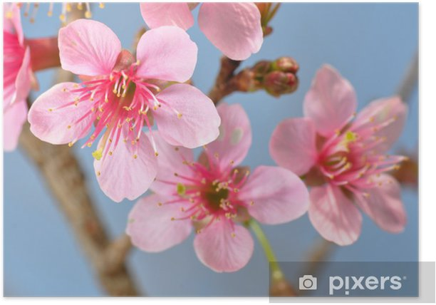 Plakat Zamknij się kwiat wiśni w Tajlandii, Sakura - Kwiaty