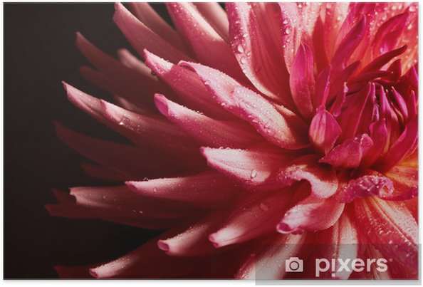 Plakat Zbliżenie czerwonych dalii z kropli wody - Kwiaty