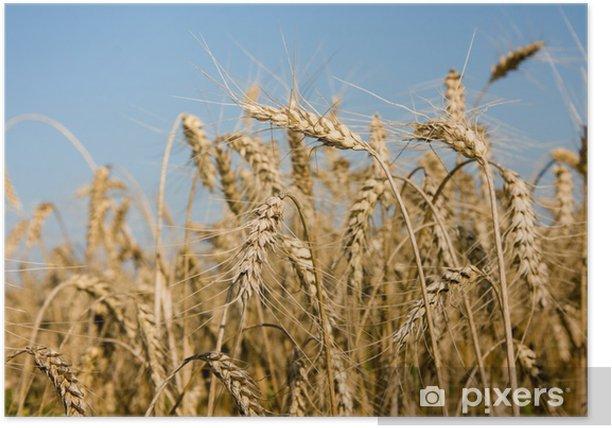 Plakat Zbliżenie dojrzałe kłosy pszenicy na polu - Nasiona
