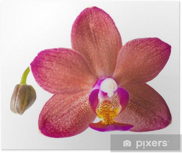 Plakat Zbliżenie z pięknym ciemnoczerwonym z bud Orchidea, Phalaenopsis i - Naklejki na ścianę