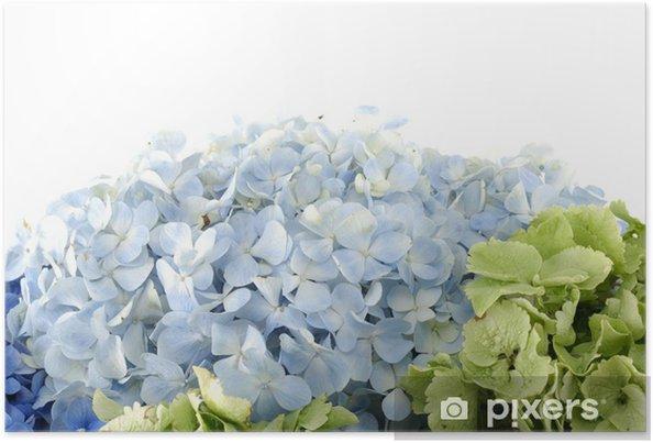Plakát Zblízka barevné hortenzie - Květiny