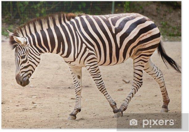 Plakát Zebra (Equus quagga) - Témata
