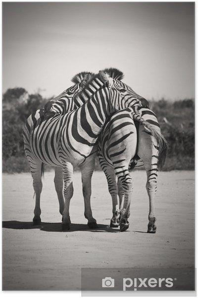 Plakat Zebra miłość - Zebry