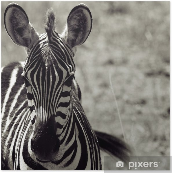Plakat Zebra - Tematy