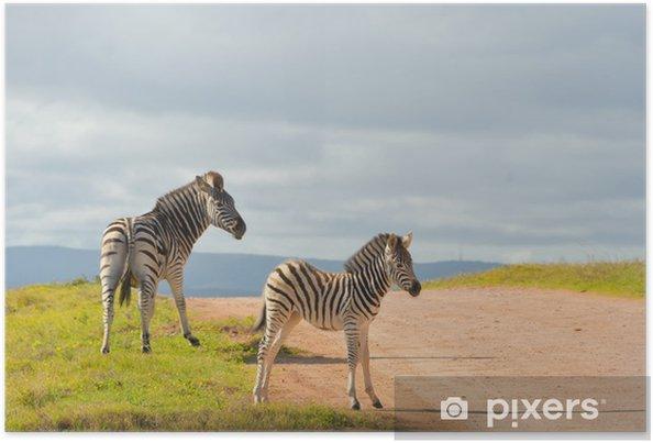 Plakát Zebry v Addo národním parku v Jižní Africe - Témata