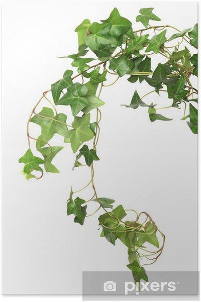Plakát Zelená Ivy - Domov a zahrada