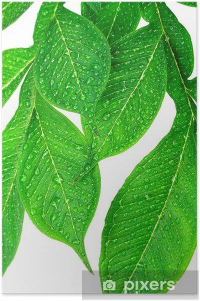 Plakát Zelený list s kapkami vody na bílém pozadí - Rostliny