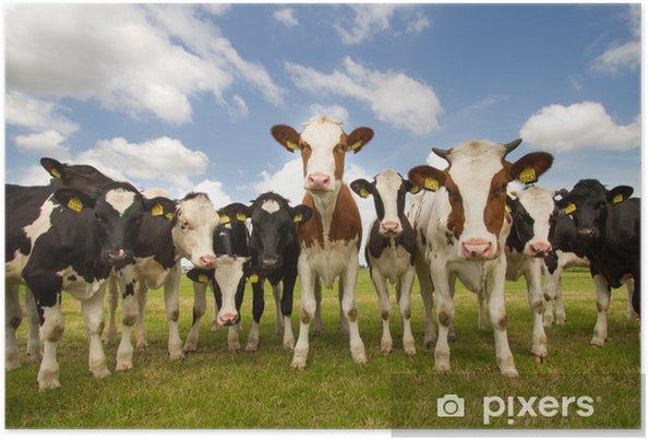 Plakat Zespół holenderskich krów - iStaging