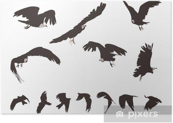 Plakat Zestaw kania czarna (Milvus migrans) w locie - Ptaki