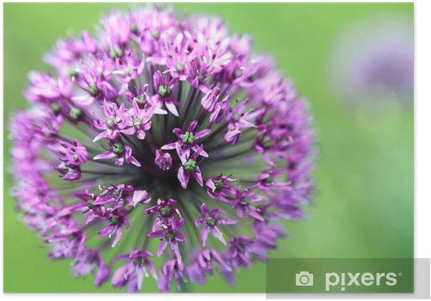 Plakat Zierlauch - Star of Persia - Allium christophii - Kwiaty