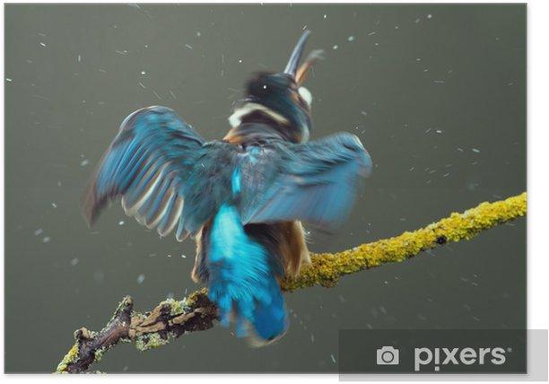 Plakat Zimorodek - Ptaki