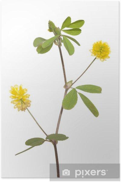 Plakat Żółta koniczyna - Rośliny