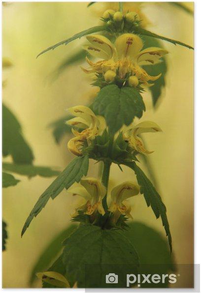 Plakat Żółta martwa pokrzywa - Rośliny