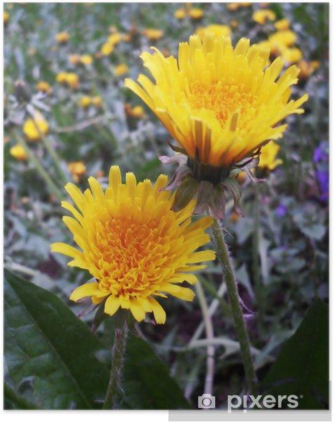 Plakat Żółty kwiat dandelion - Kwiaty
