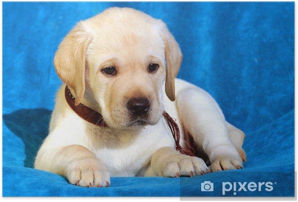 Plakat Żółty labrador puppy na niebiesko - Ssaki