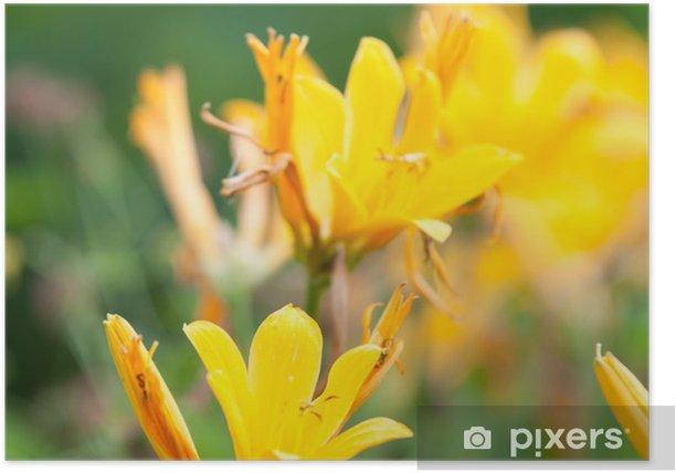 Plakat Żółty tiger lily - Kwiaty