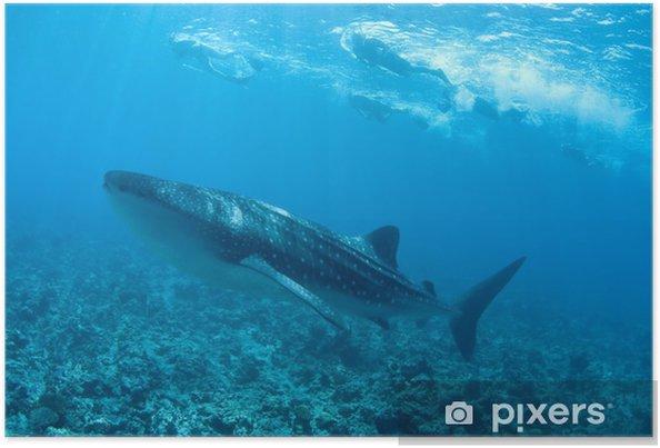 Plakát Žralok velrybí Maledivy - Vodní a mořský život