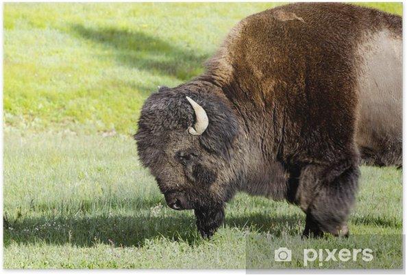 Plakat żubry W Parku Narodowym Yellowstone Usa