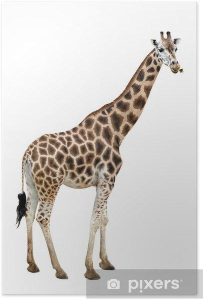 Plakat Żyrafa - Ssaki