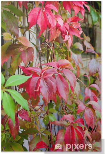 Plakat Żywy Jesień Kolory winobluszcz pnącego z wiatrem - Rośliny