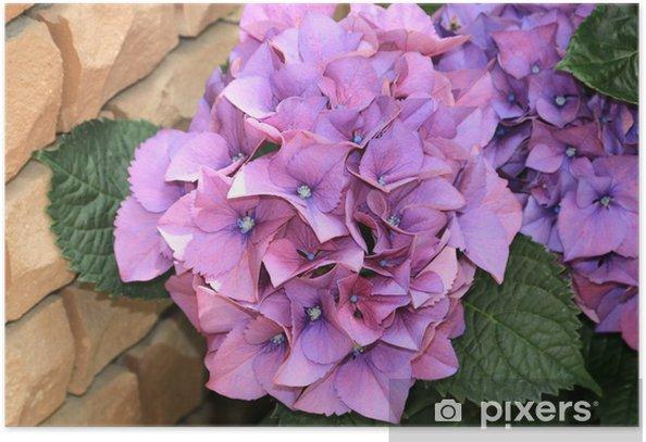 Poster ピ ン ク の 紫陽 花 - Blumen