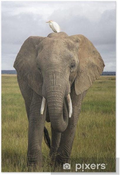 Poster Afrikanischer Elefant mit Kuhreiher - Themen