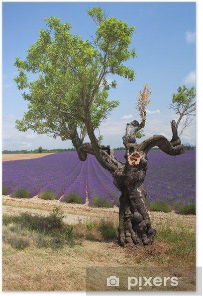 Poster Albero di fronte al campo di lavanda, Provenza, Francia. - Europa